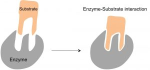 Enzyme substrate interaction